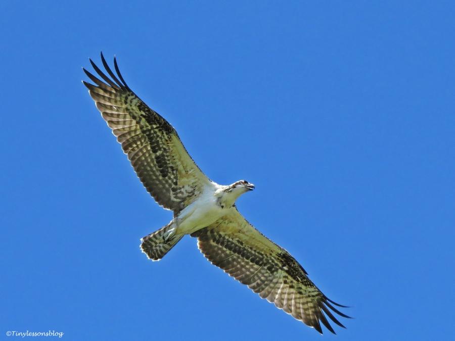 newly fledged osprey chick on a practice flight Florida