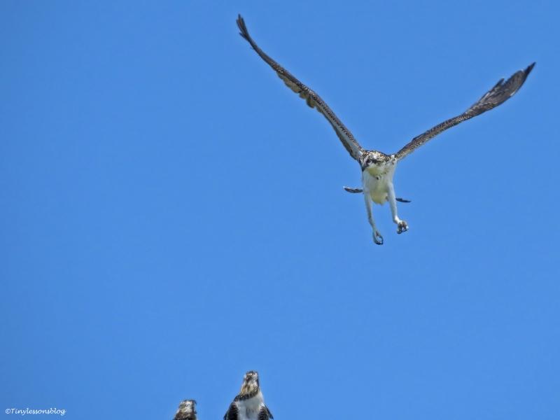 osprey chick landing Florida