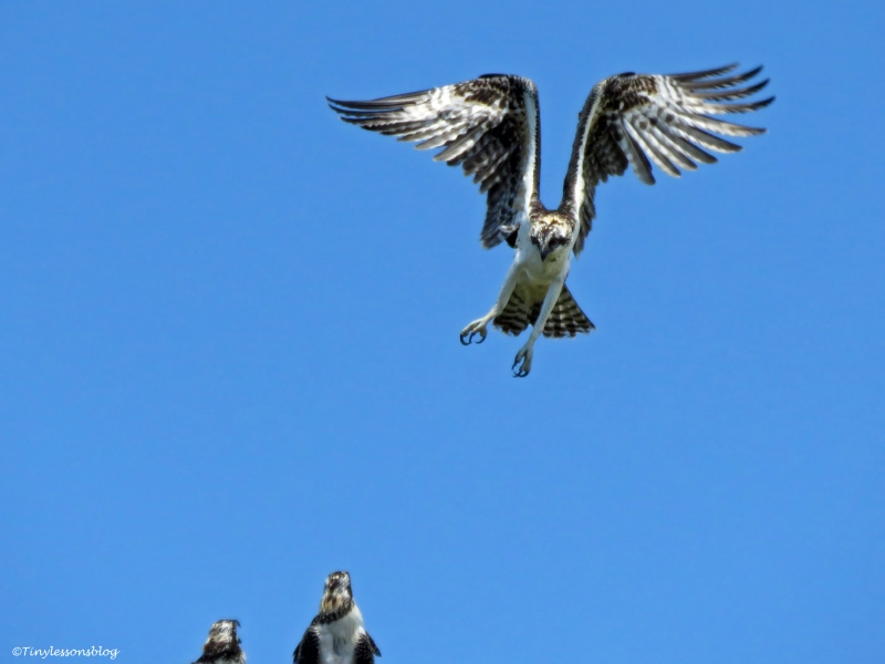 osprey chick lands Florida