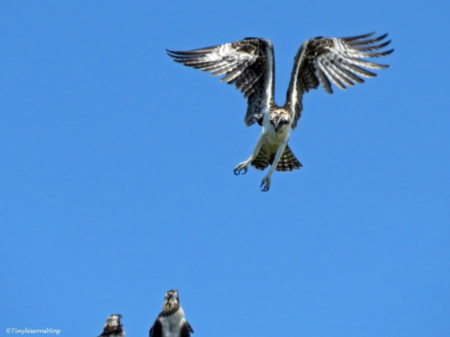osprey chick lands Florida
