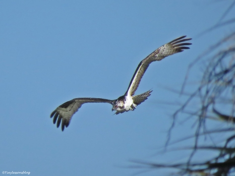 osprey chick wants to return to her nest Sand Key Park Clearwater Florida
