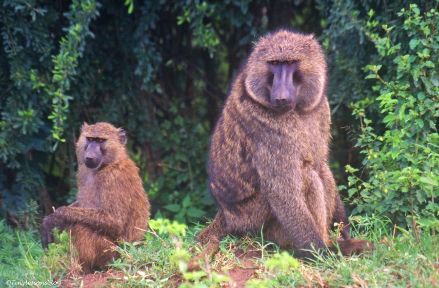 baboon mom with her child in Queen Elizabeth National Park in Uganda