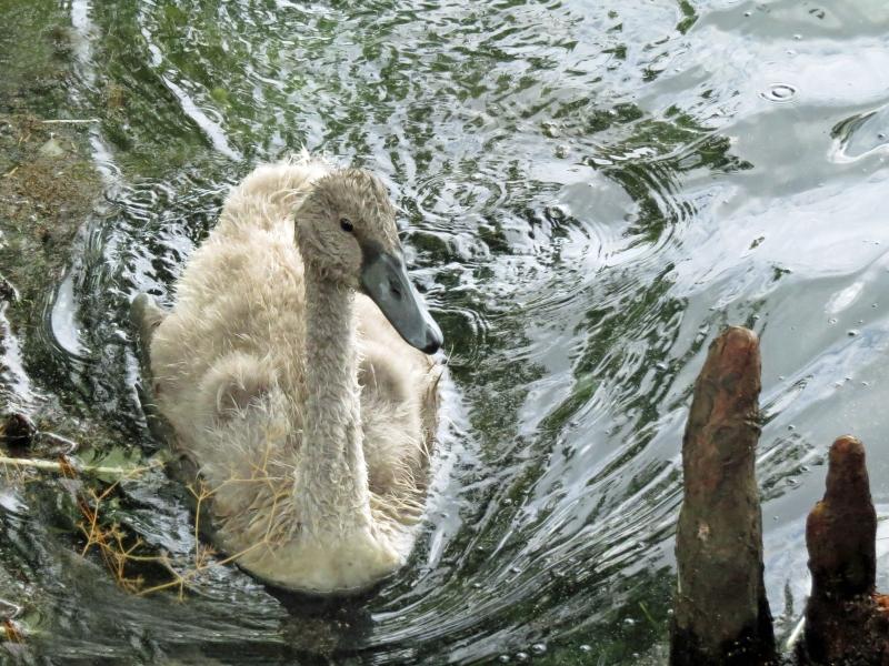 baby swan 2