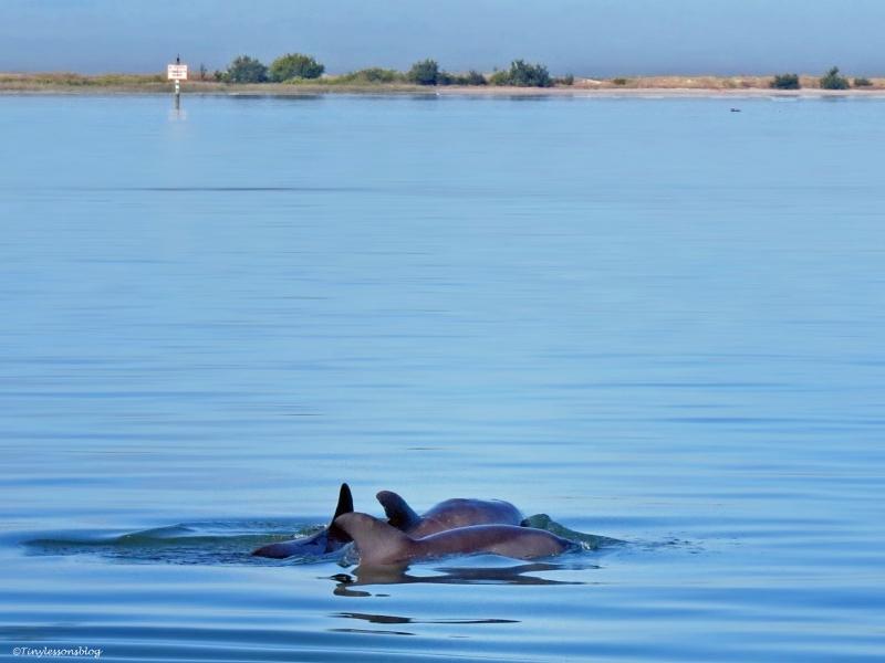 bottlenose dolphins at caladesi island Dunedin Florida
