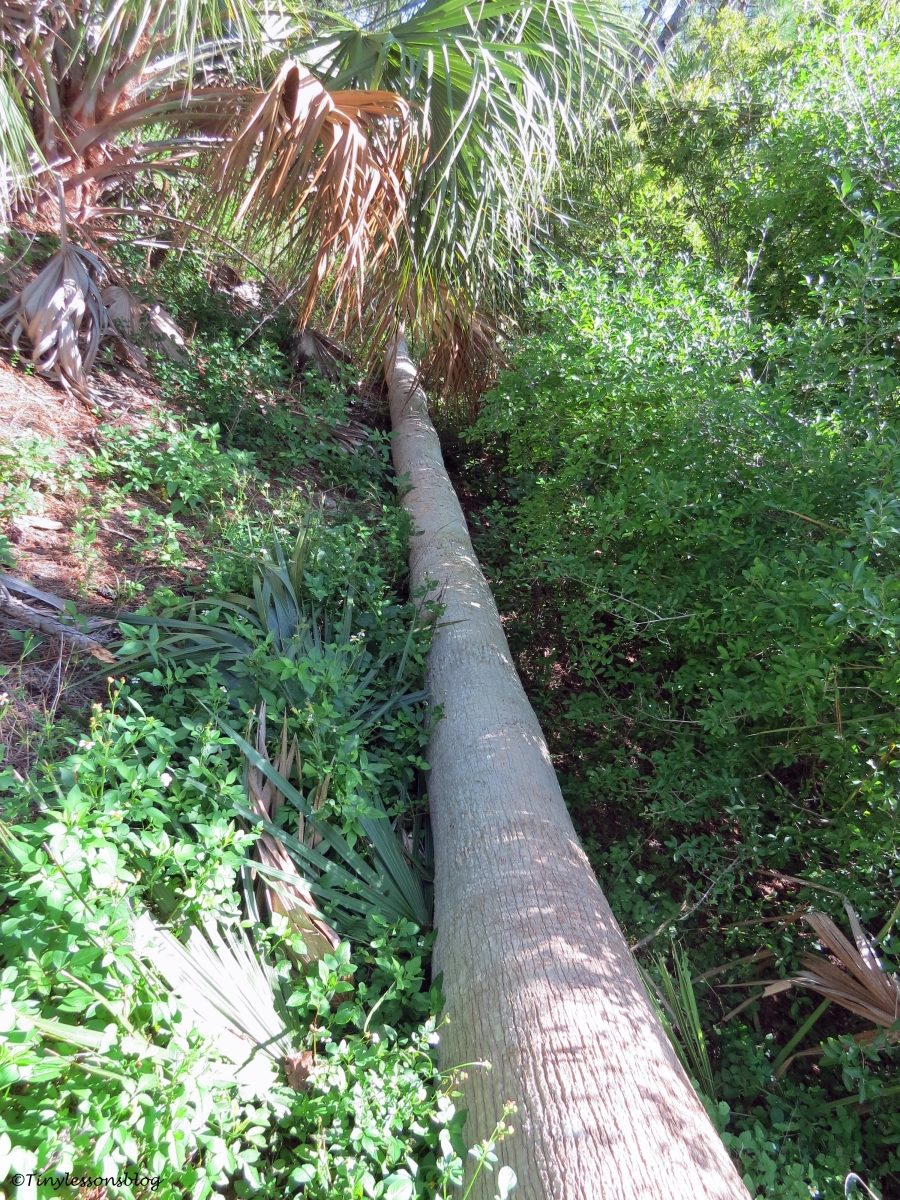 an old palm trunk taken down by the storms Sand Key Park Clearwater Florida
