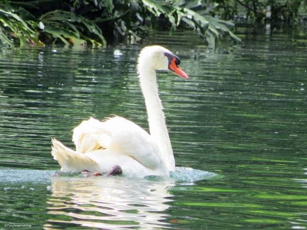 daddy swan orlando