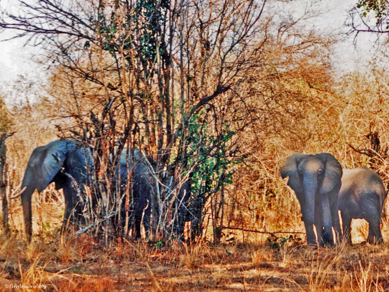elephants in South Luangwa National Park Zambia