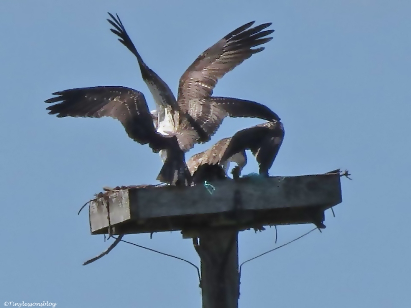 osprey chick tries to push the male osrey off the nest Sand Key Park Clearwater Florida