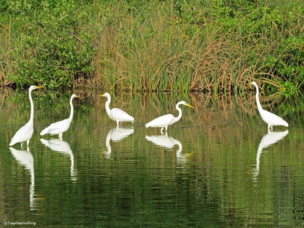 five egrets in the salt marsh UD13