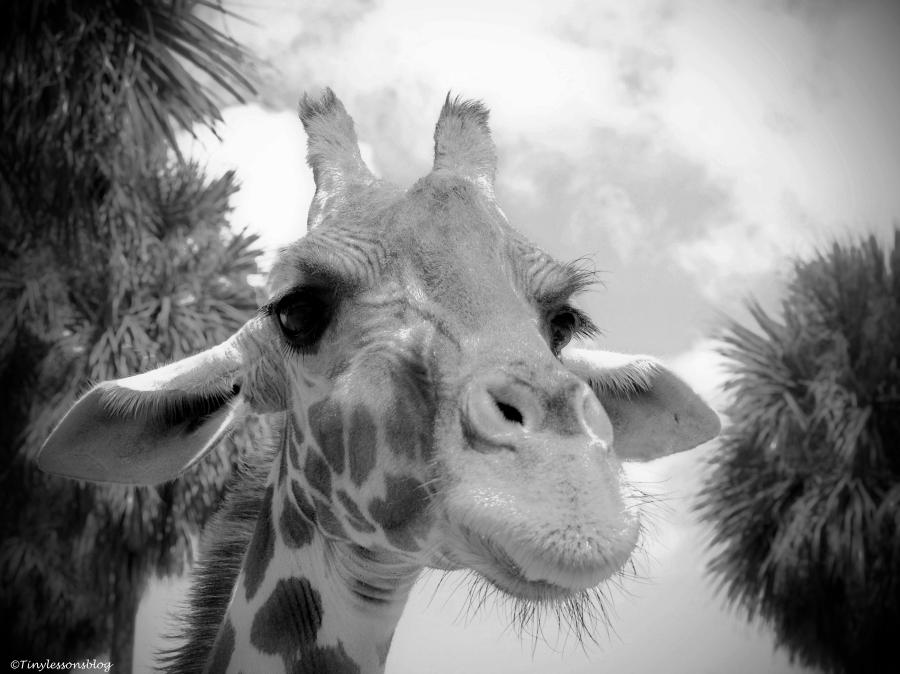 A giraffe in Bush Gardens Tampa Florida