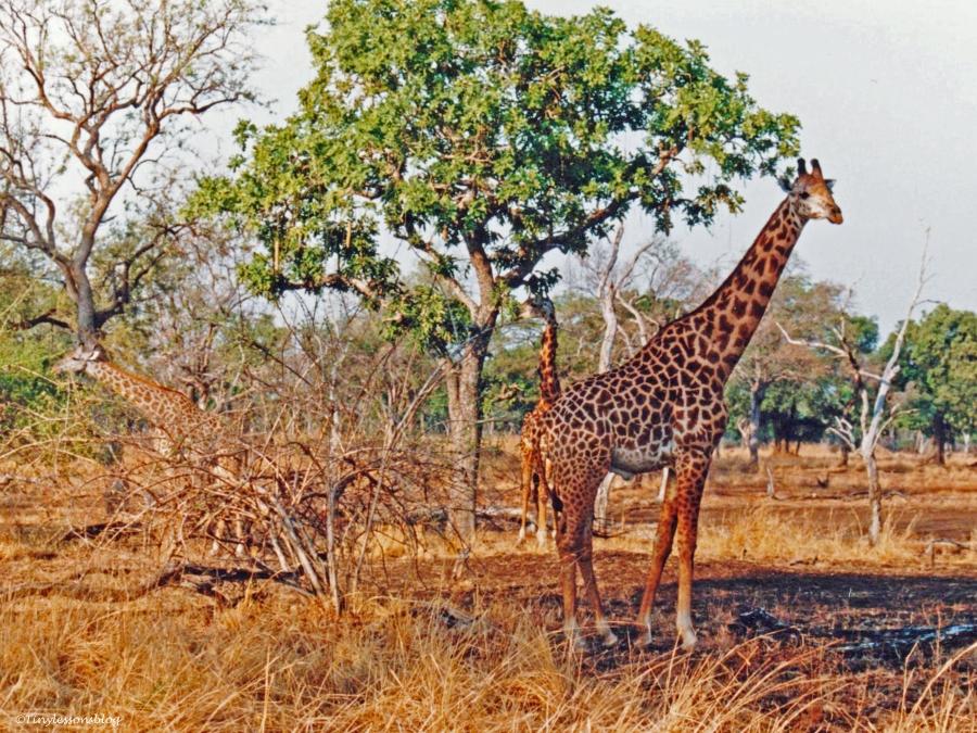 giraffes South Luangwa National Park Zambia