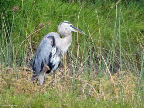 Great blue heron Sand Key Park Clearwater Florida