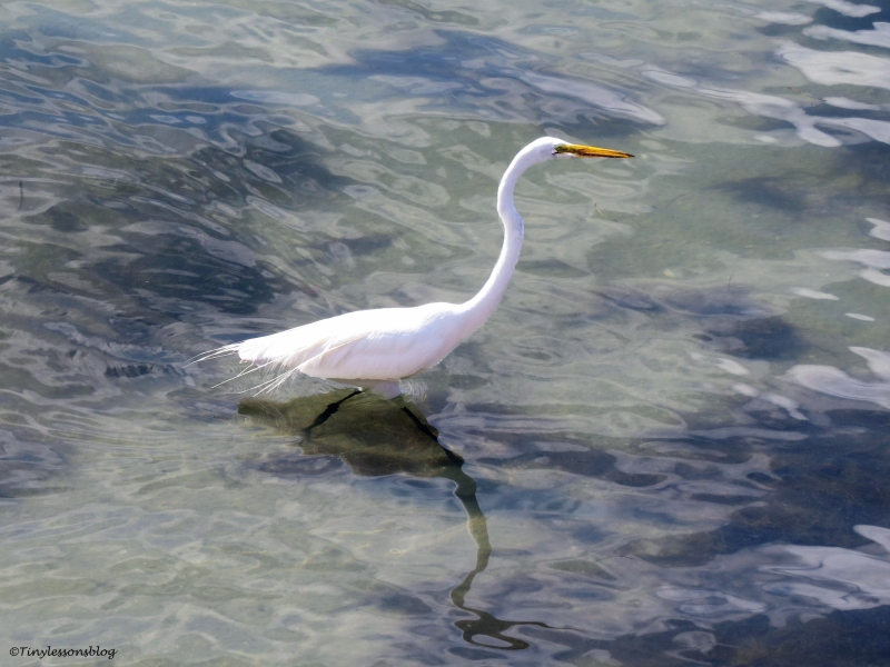 Great Egret fishing in the bay Clearwater Florida