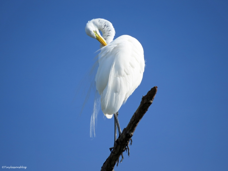 great egret honeymoon island Florida
