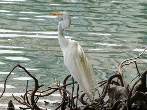 great egret orlando