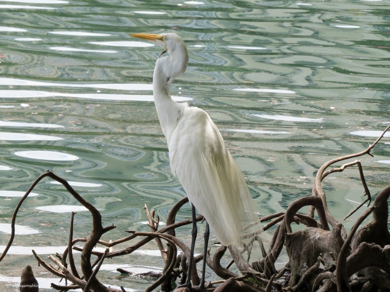 great egret orlando