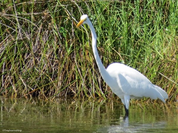 great egret Sand Key Park Clearwater Florida