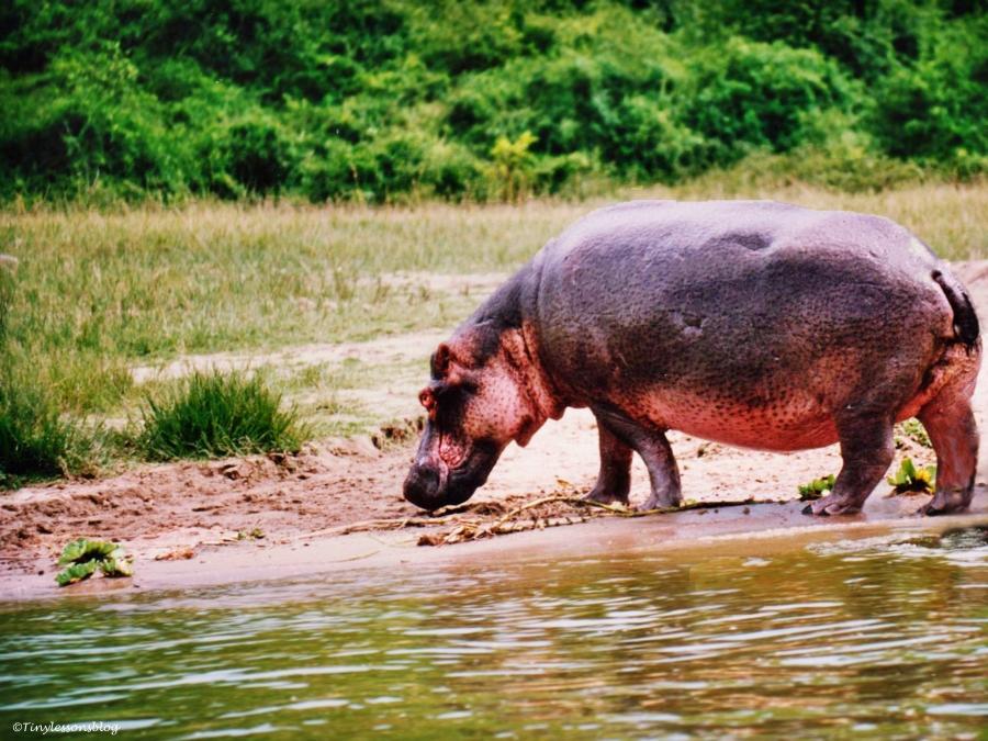 A hippo in Queen Elizabeth National Park in Uganda