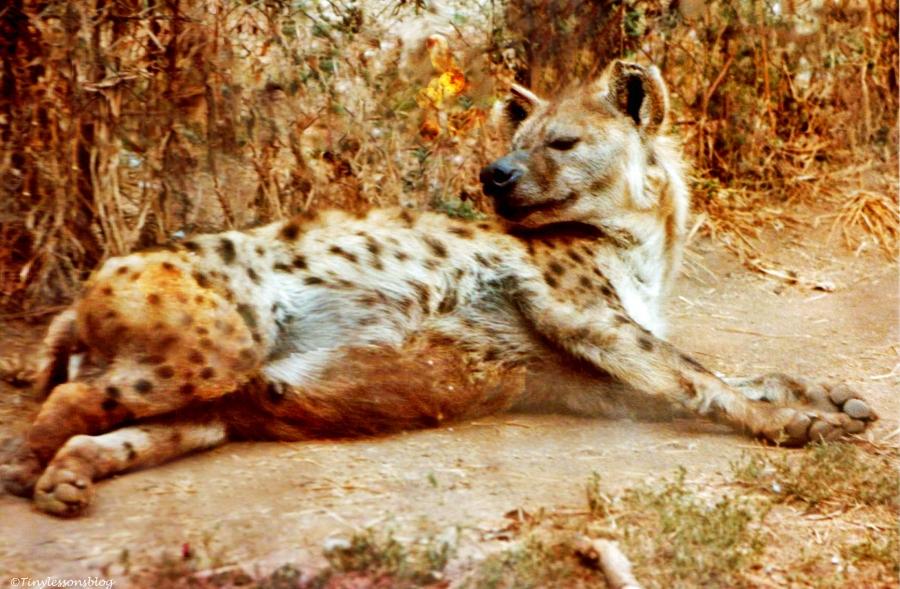 Hyena awash Ethiopia