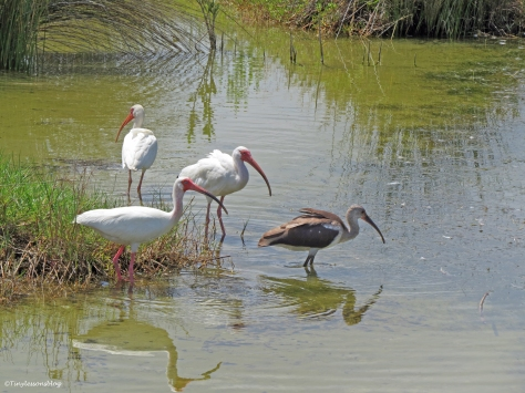 ibis family with a juvenile Sand Key Park Clearwater Florida