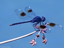 Indigo dragonfly