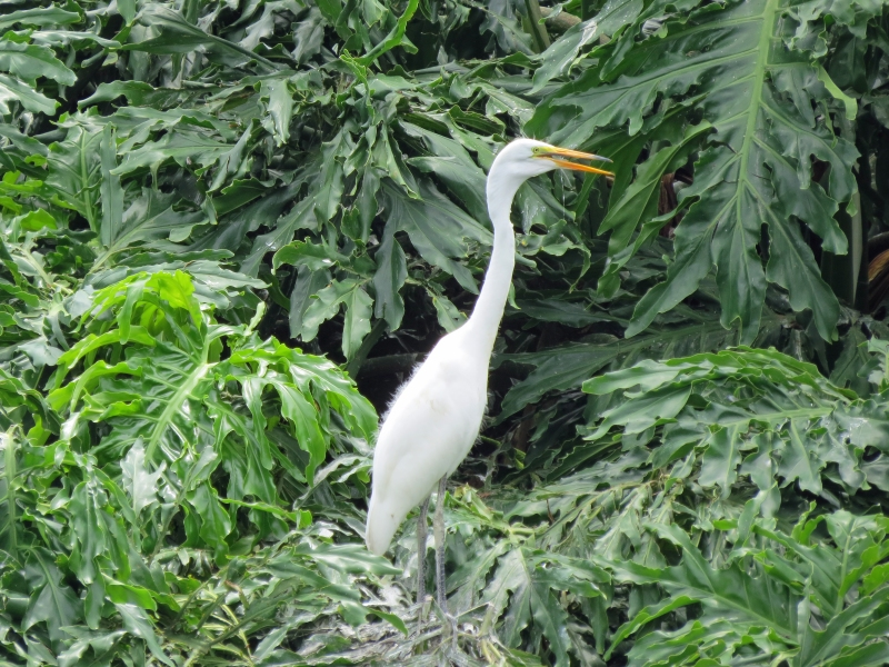 juvenile great egret