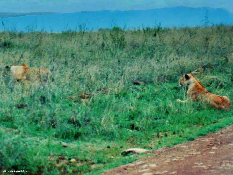 two lions in Kenya