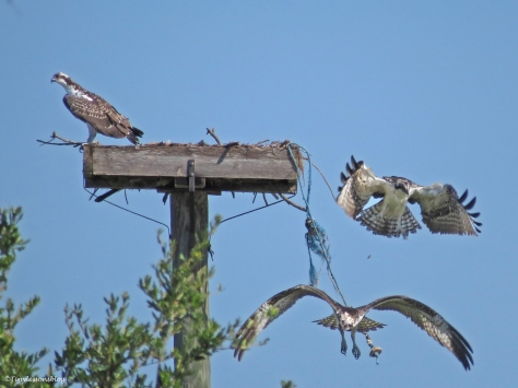 One osprey chick flies away while the other returns to the nest Sand Key Park Clearwater Florida