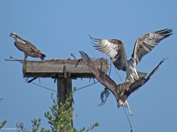 osprey chick chases the other chick away Sand Key Park Clearwater Florida