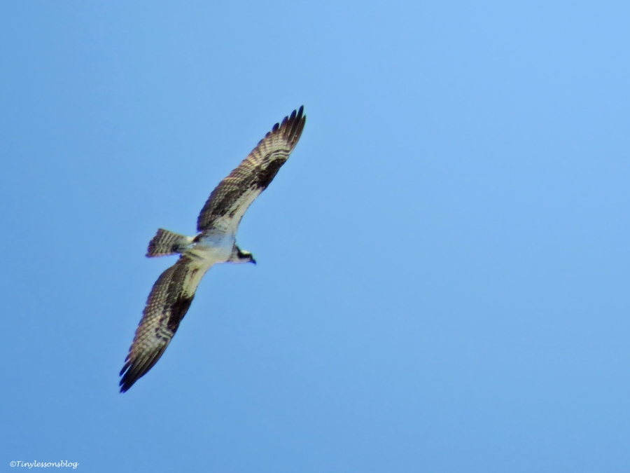 osprey chick in flight Sand Key Park Clearwater Florida