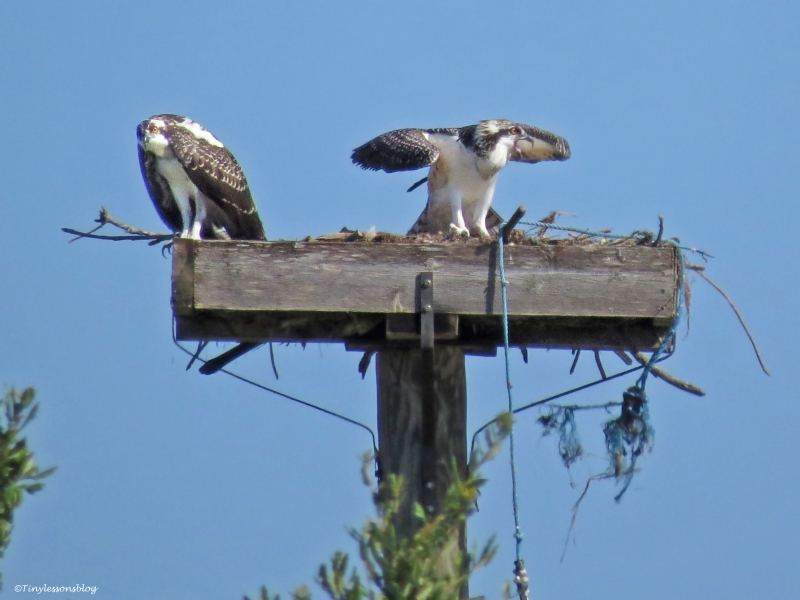 osprey chick gets excited and vocal Sand Key Park Clearwater Florida