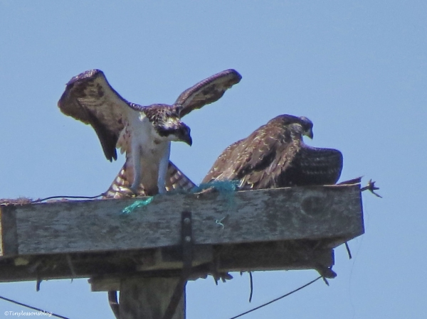 Osprey chick has taken the fish from her sibling Sand Key Park Clearwater Florida