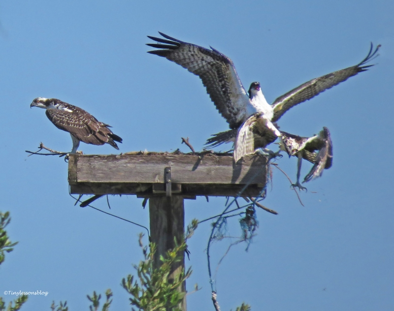one osprey chick kicks out the other Sand Key Park Clearwater Florida