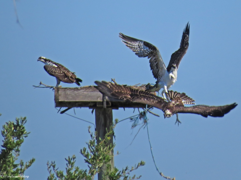 osprey chick prevents the other from entering the nest Sand Key Park Clearwater Florida