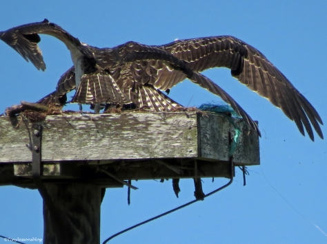 osprey chicks scuffle over a fish Sand Key Park Clearwater Florida