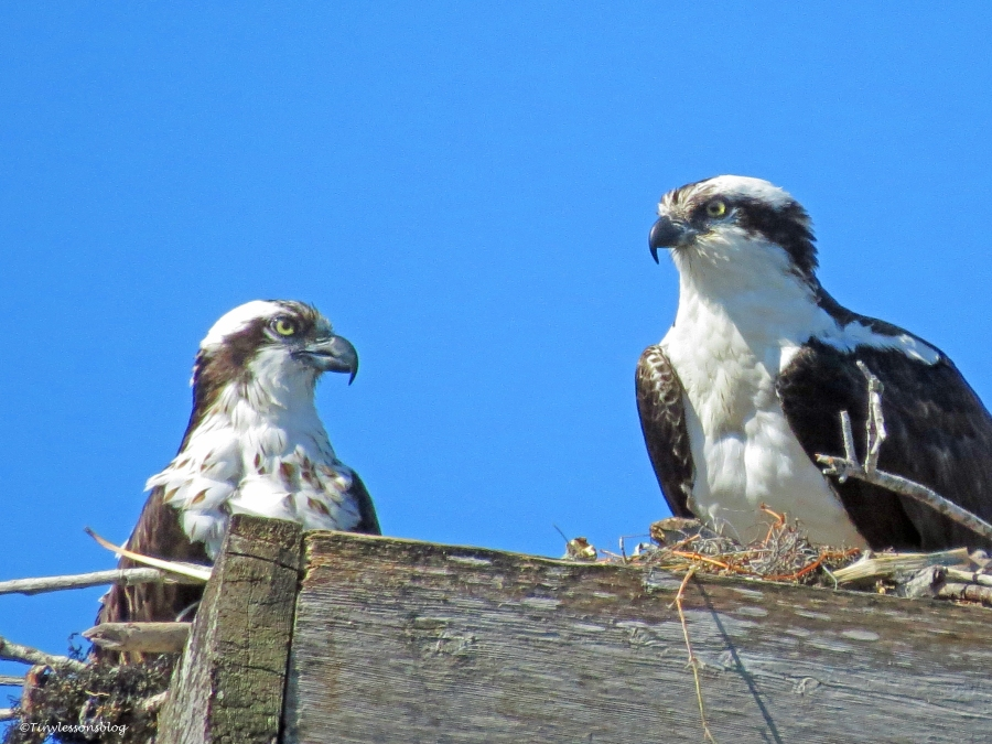 female and male osprey Sand Key Park Clearwater Florida