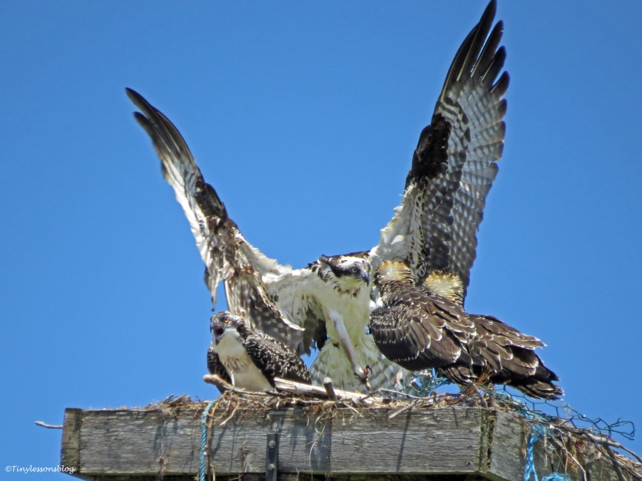 female osprey brings in fish Sand Key Park Clearwater Florida