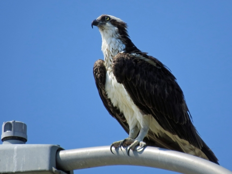 female osprey drying herself Sand Key Park Clearwater Florida