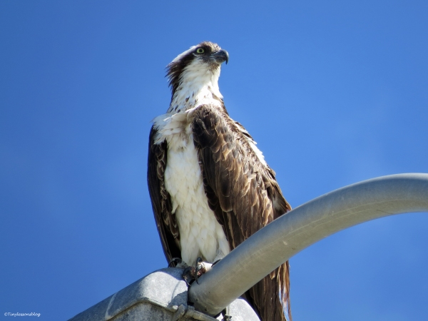 mama osprey on her perch Sand Key Clearwater Florida