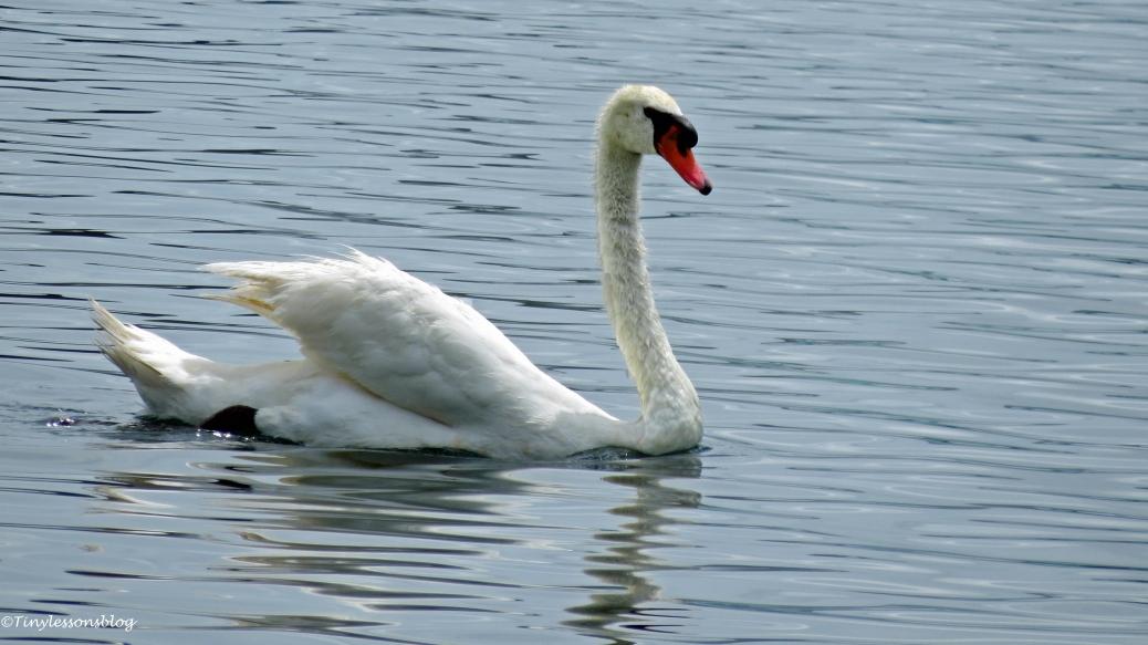 mother swan orlando widescreen