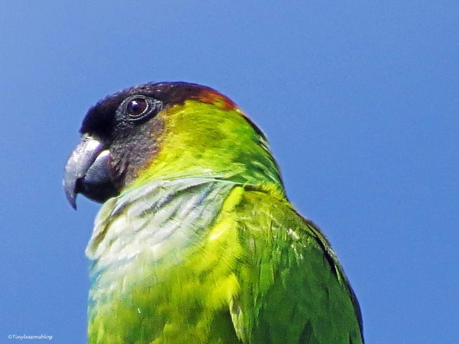 nanday parakeet portrait vivid