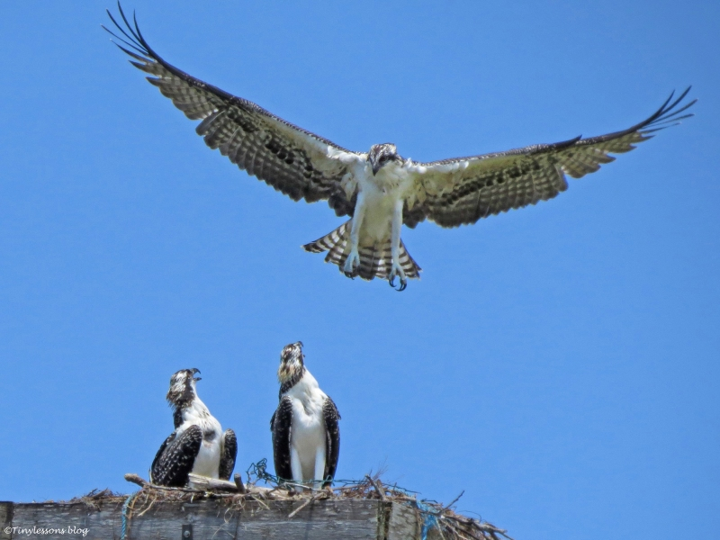 osprey chick returns to nest Sand Key Park, Clearwater Florida