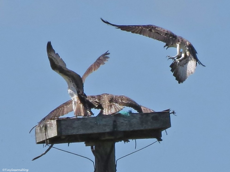 male osprey brought a fish Sand Key Park Clearwater Florida