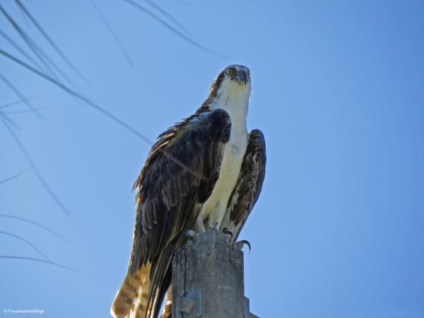 mal osprey keeps an eye on the nest Sand key Park Clearwater Florida