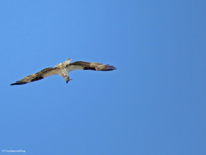 osprey carrying a fish Sand Key Park Clearwater Florida