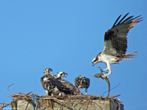 papa ospreys fish delivery Sand Key Park, Clearwater Florida