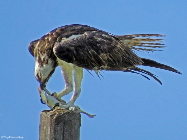 Male osprey just caught a fish Sand Key Clearwater Florida