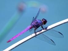 Violet Dragonfly