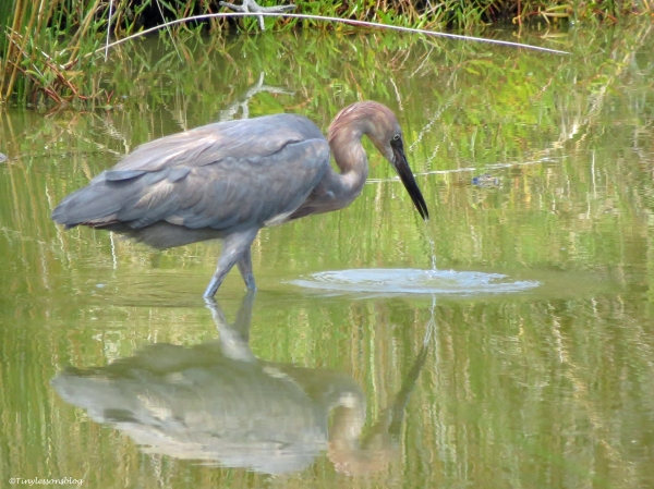 reddish egret fishing Sand Key Park Clearwater Florida