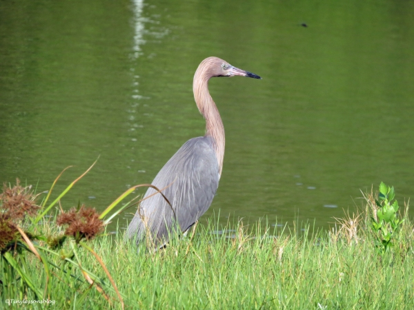 reddish egret Sand Key Park Clearwater Florida